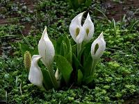 White Arum